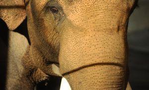 Opening Celebration For The Asian Elephant Habitat At The LA Zoo